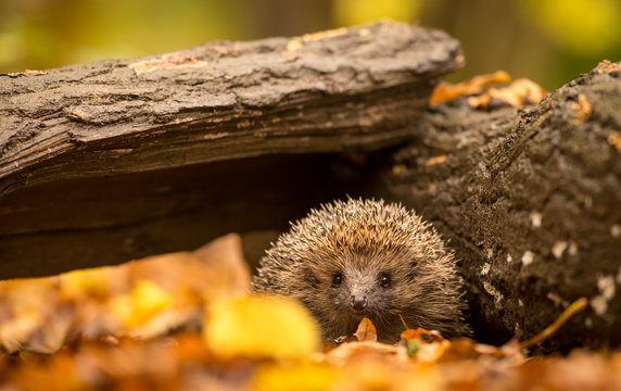 A small cute hedgehog walking through the woodland looking for food