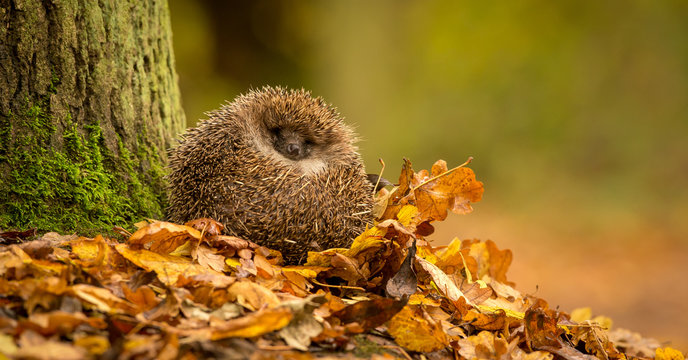 A cute little wild hedgehog curled up in a pile of golden autumn leaves