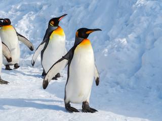 Fototapeta Emperor penguin walk on snow obraz
