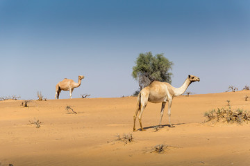 Two camels in wildlife in desert near Dubai