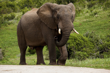 Image of a elephant bull walking in the South African bush.