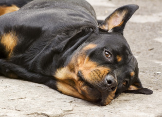 dog of breed a Rottweiler looks wary