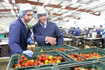 Quality control workers inspecting ripe vine tomatoes in bins in food processing plant