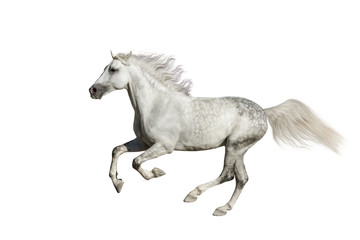 Andalusian stallion run isolated on white background