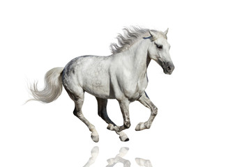 Stallion run isolated on white background