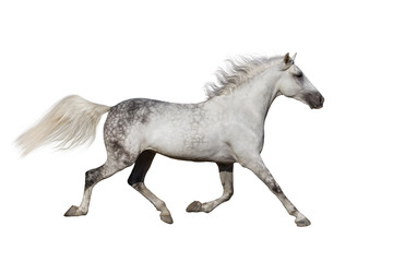 White stallion trotting isolated on white background