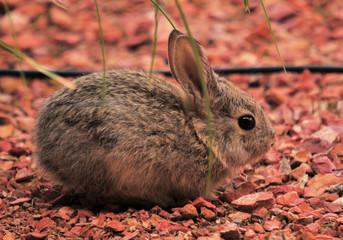 Baby Bunny / Rabbit in Page, Arizona