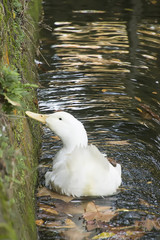 Duck  in a lake in autumn/Duck swimming in a lake in autumn
