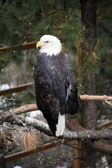 American bald eagle in the forest in the winter.