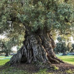 uralter Olivenbaum (Apulien, Italien) #2