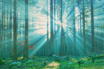 Wall Murals Forest Magical sun rays in forest landscape. Lovely blue green color filter used.