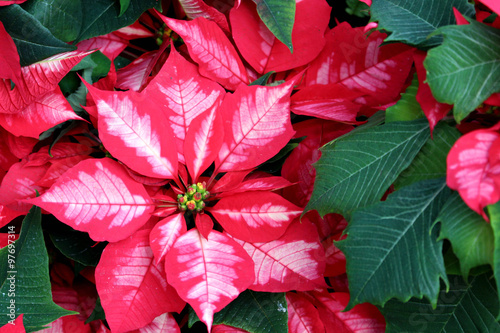 Poinsettia Ice Punch Stock Photo And Royalty Free Images On