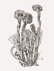Vector images of medicinal plants. Detailed botanical illustration for your design.  Coltsfoot.