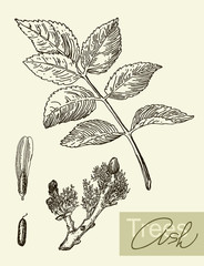 Vector image of leaves, flowers and fruits of ash.
