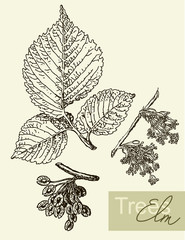 Vector image of leaves, flowers and fruits of elm.