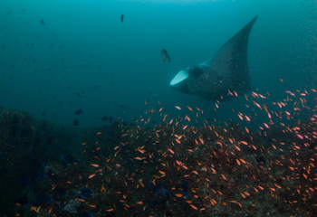 Fototapete - A manta ray gliding by a collection of brightly colored fish