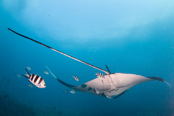 Fototapete - A tail shot of a manta ray drifting away followed by a group of fish