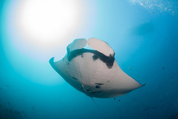Fototapete - A giant oceanic manta ray swimming overhead in clear blue water