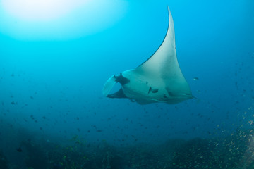 A giant oceanic manta ray swimming elegantly past a school of fish