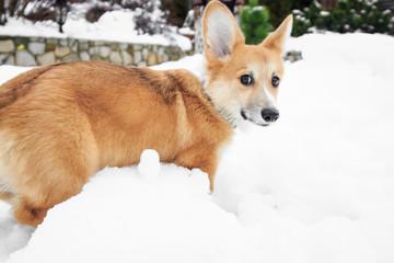 Corgi puppy walks in the park on snow in the winter