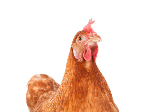 brown chicken hen standing isolated white background use for far