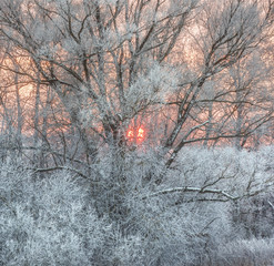 Fototapete - Hoarfrost on branches. Evening. Pink sunset