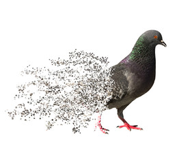 pigeon crumble dispersion style on white background
