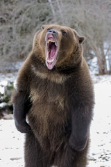 North American Ninja Bear