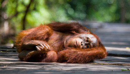 Orangutan lying on a wooden platform in the jungle. Indonesia. The island of Kalimantan (Borneo). An excellent illustration.