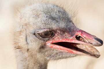 Portrait of an ostrich head