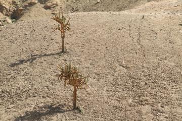 Cactus Candelabra (Browningia Candelaris)