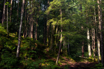 Forest in the mountains with pine trees