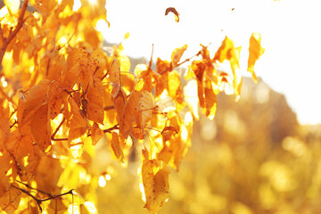 Beautiful landscape with golden tree's leaves, close up