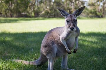Kangaroo at Cleland wildlife park south australia