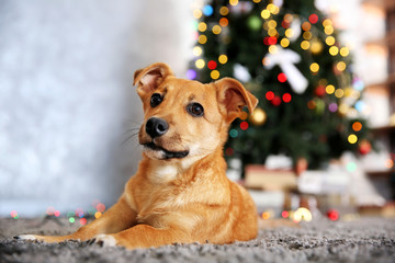 Small cute funny dog laying at carpet on Christmas tree background