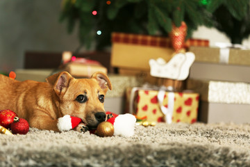 Small cute funny dog playing with Santa hat on Christmas gifts background