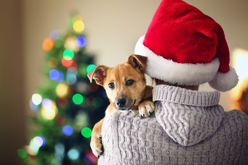 Woman in Santa hat holding at shoulder small funny cute dog on Christmas background