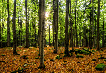 Panoramic view in an autumnal beech forest in Bavaria, Germany