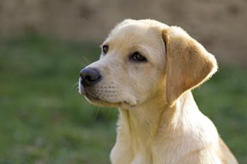 Labrador retriever puppy in the yard