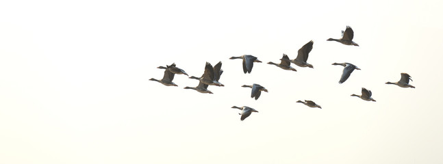Flock of flying geese in summer