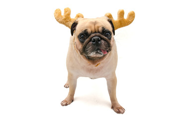 Isolate close-up face of puppy pug dog wearing Reindeer antlers for christmas and new year party