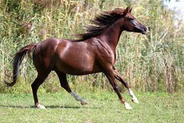 ian breed horse canter on natural background summertime