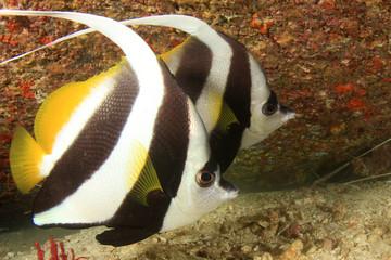 Pair Bannerfish