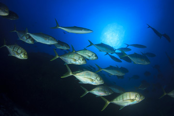 School Trevally and tuna fish hunting