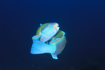 Two Parotfish fighting over territory
