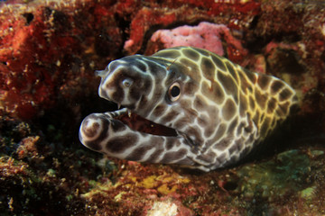 Honeycomb Moray Eel