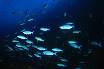 School Fusilier fish in blue water