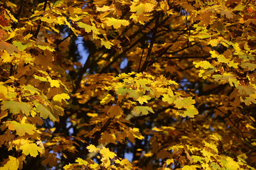 Golden-leaved maple tree