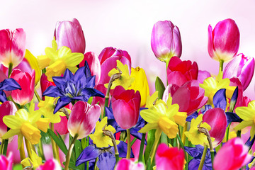 Pink and yellow tulips. narcissus