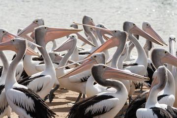 Pod of pelicans, San Remo, Victoria, Australia